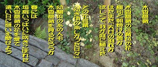 木香薔薇の詩.jpg