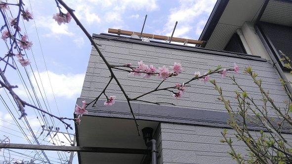桃の花28年.jpg