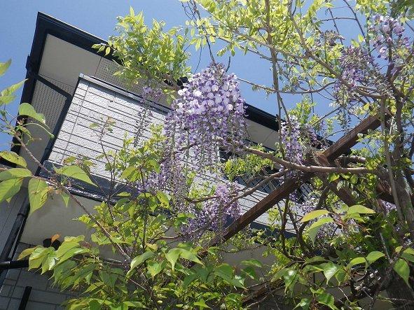 藤の花24.jpg
